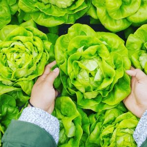 Boston Lettuce for Salad Nicoise